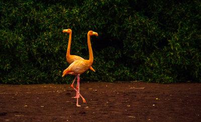 Flamingo Duet, Rabida Island, The Galapagos, Ecuador, 2012