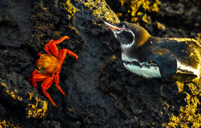 The crab and the penguin, Santiago Island, The Galapagos, Ecuador, 2012