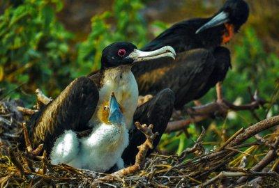 Nesting Frigatebird family, Prince Philip's Steps, Genovesa Island, The Galapagos, Ecuador, 2012