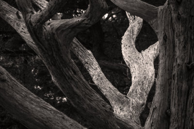 Cypress branches, Point Lobos State Natural Reserve, Carmel, California, 2012