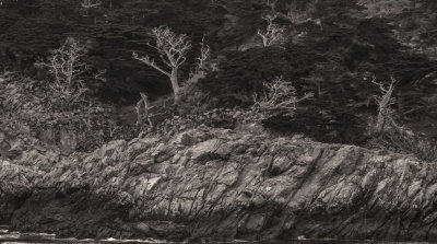 Ghosts in the forest, Point Lobos State Natural Reserve, Carmel, California, 2012