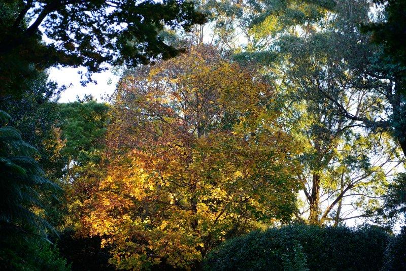 Mt Wilson yellow autumn tree