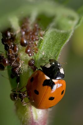 a ladybug eating aphids the ants are not amused photo gallery by antje schulte at. Black Bedroom Furniture Sets. Home Design Ideas
