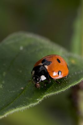 Ladybug, Aphids, and Ants - Part V