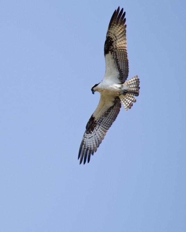 Osprey-Sqrd_3I0763.jpg