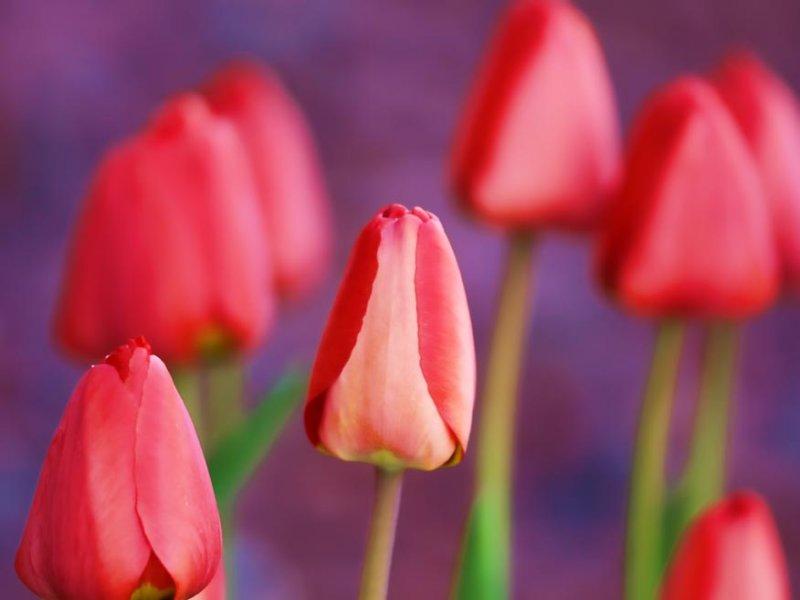 Spring Morning Tulips