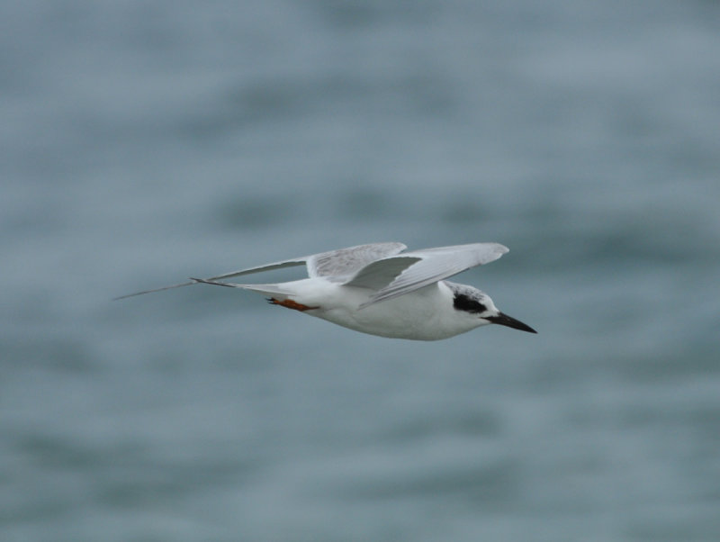 Forsters Tern, Wrightsville Beach, NC, 11 Feb 12