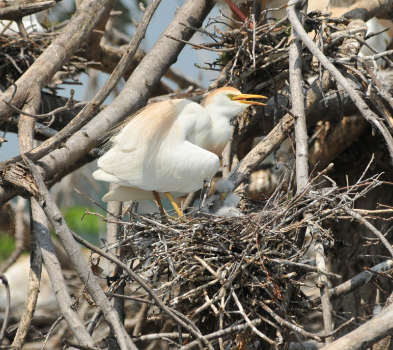 Cattle Egret shading chicks, Woods Reservoir, 25 May 12