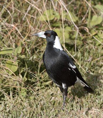Australasian Magpie
