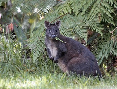Calaby's Pademelon?