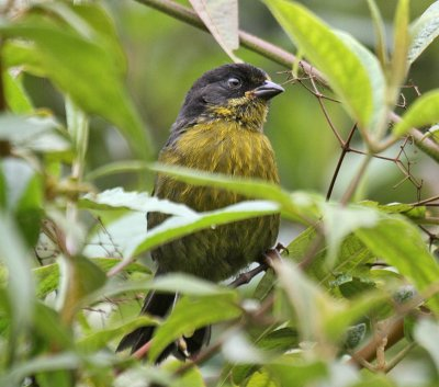 Pale-naped Brush-Finch