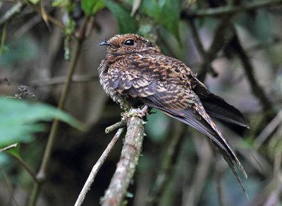 Swallow-tailed Nightjar