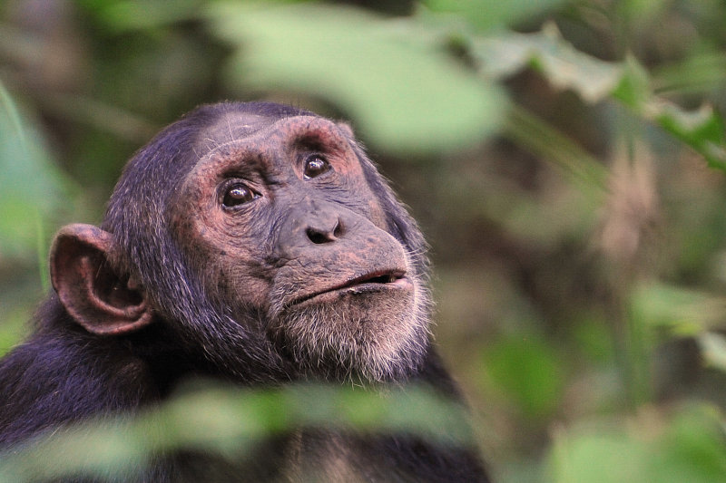 Male Chimp at Kibale 2011