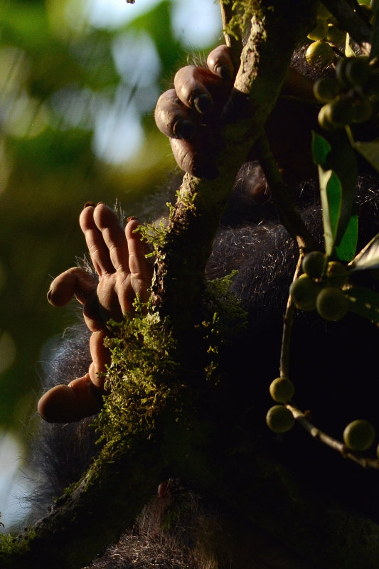 Chimp Hands In Tree Kibale 2011
