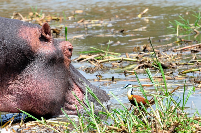 When Hippo Met Ducky