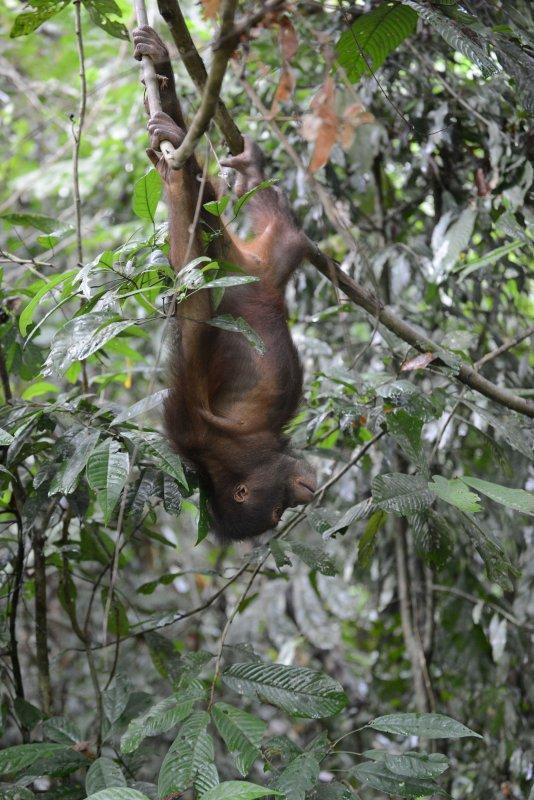 Orangutan 5 - Borneo