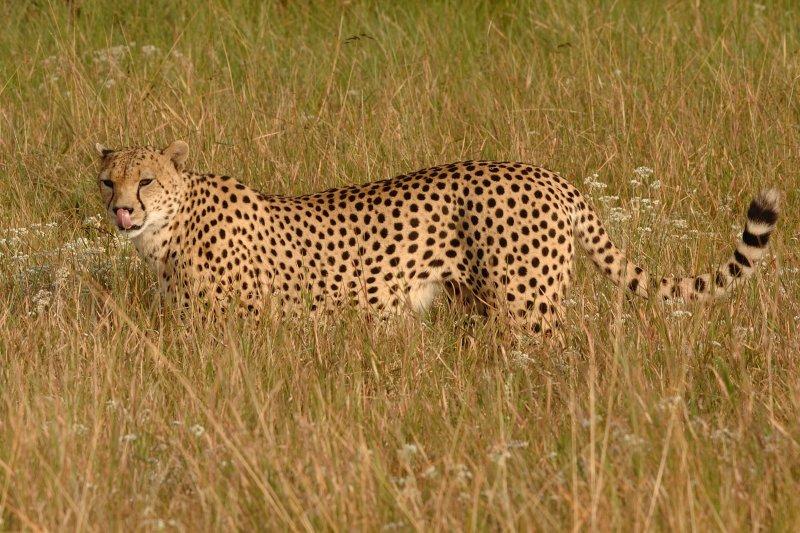 Cheetah 07d.jpg