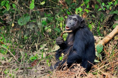 Female Chimp at Kibale 2011