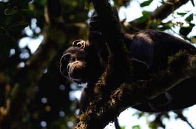 Chimp Looking Down Kibale 2011
