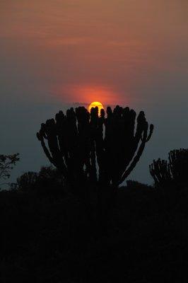 Euphorbia at Sunset