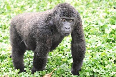 Grauers Gorilla Orphan 2011