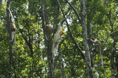 Proboscis 1 - Borneo