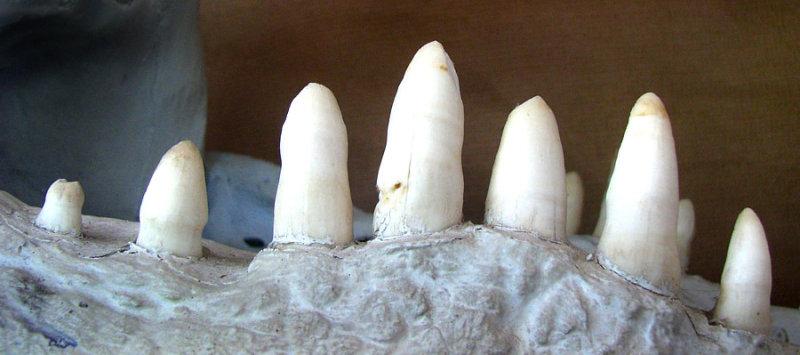 des dents impressionantes