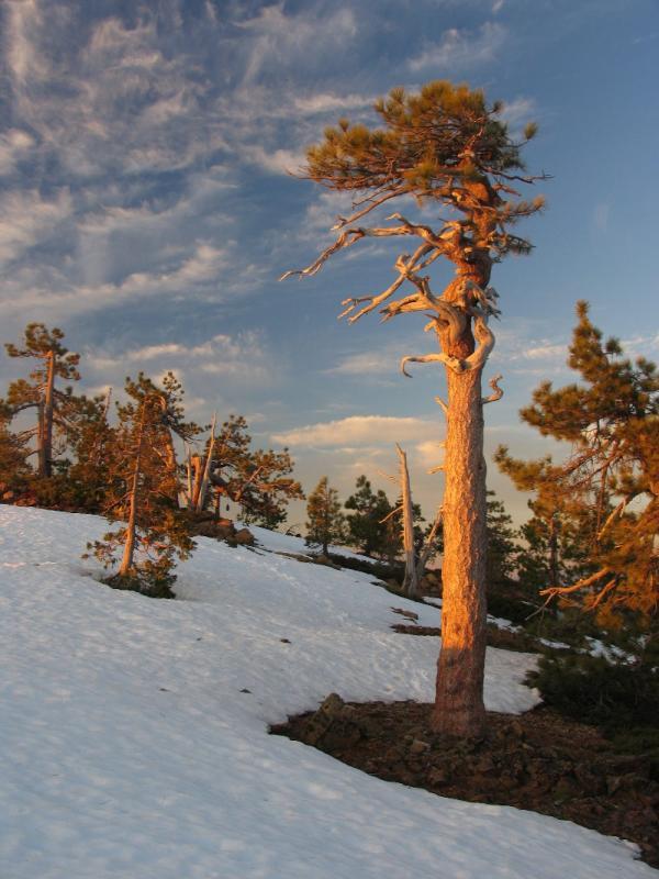 Ancient weathered Jeffrey pine