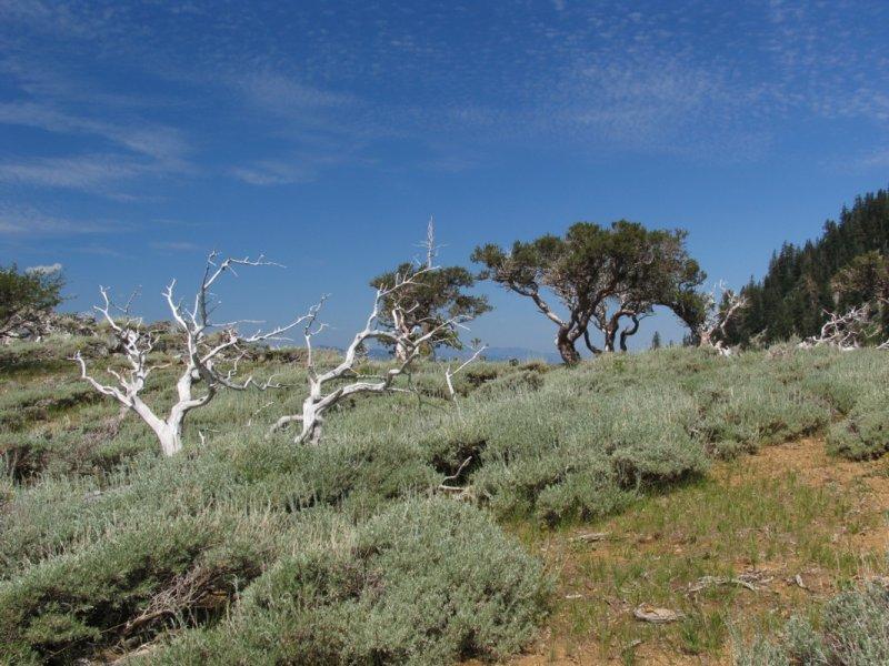 Mountain Mahogany near E Boulder Lkae