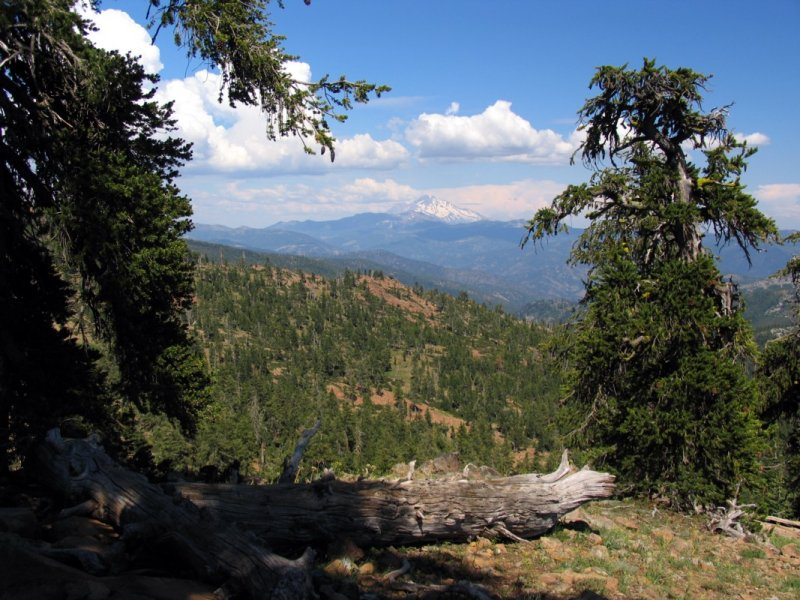 Mt Shasta framed by foxtail pines
