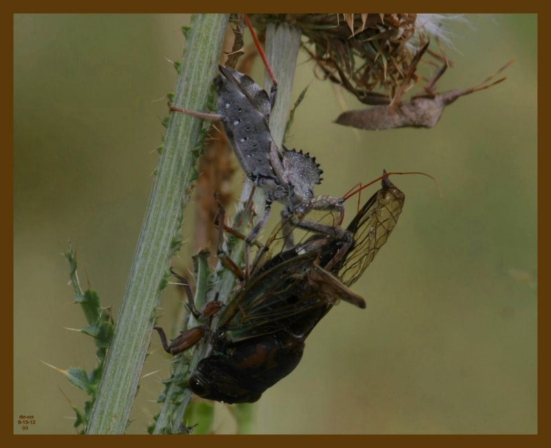 wheel bug-locust-6-13-12-518b.JPG