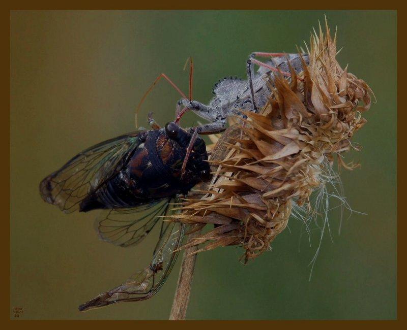 wheel bug-locust-6-13-12-552b.JPG