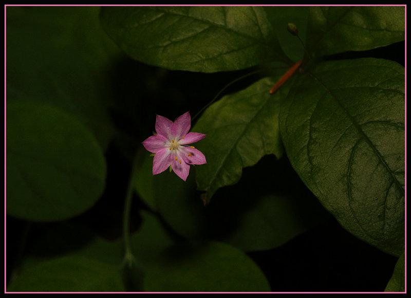 Wild Flower - Broad-Leaved Starflower
