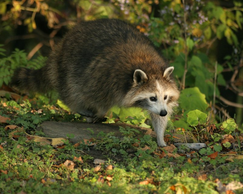 Raccoon without a mask!