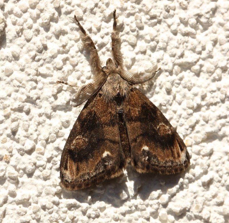 Definite Tussock Moth