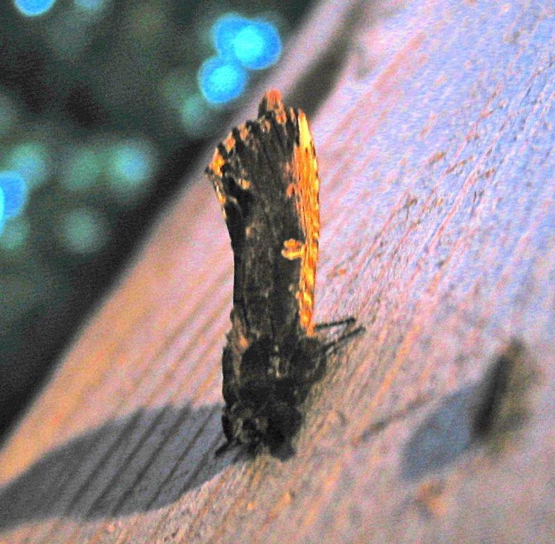 Schizura unicornis, Unicorn Caterpillar Moth, 8007