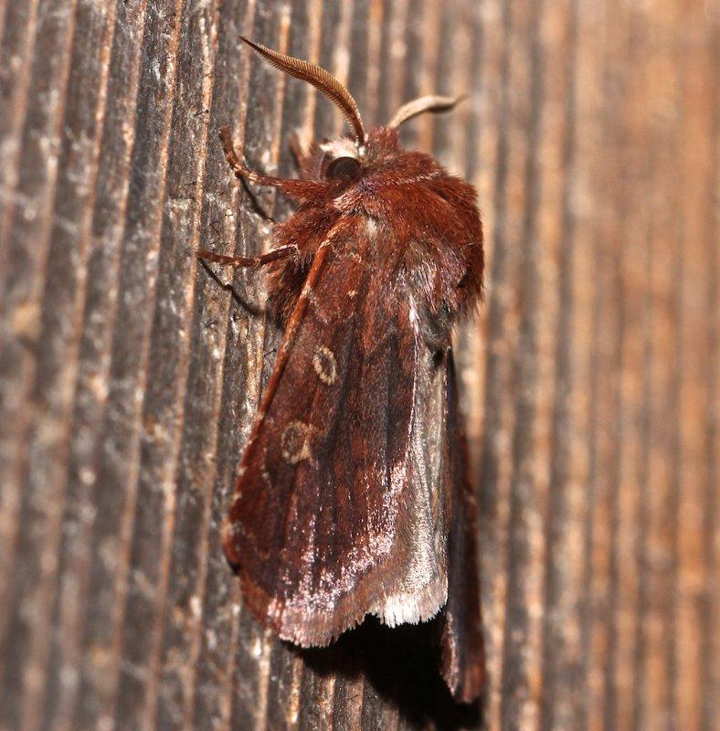 10994, Cerastis tenebrifera , Reddish Speckled Dart