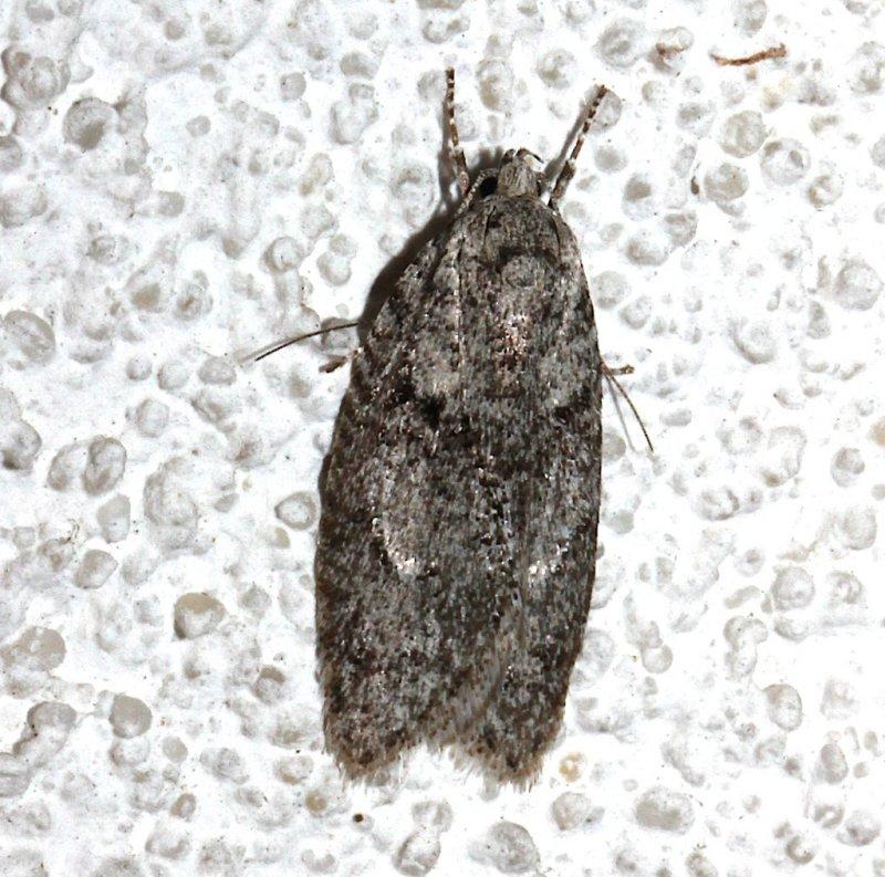 0914, Semioscopus inornata