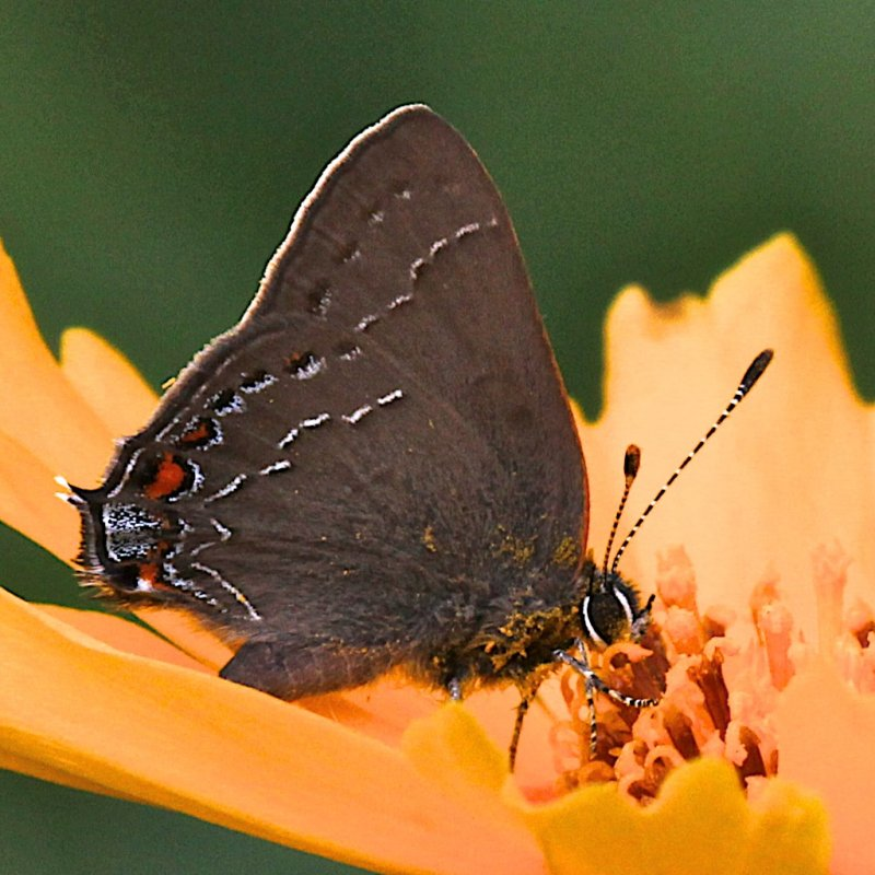 Northern Oak Hairstreak