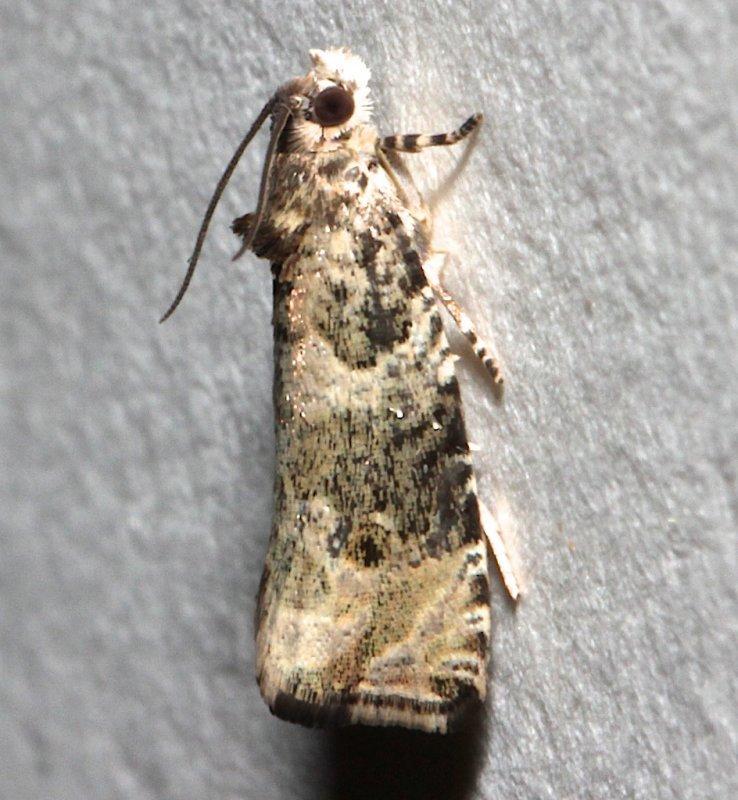 2821, Olethreutes appendicea