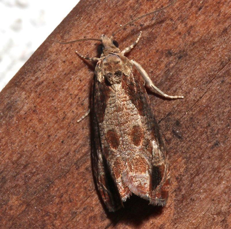 2803, Olethreutes merrickanum, dorsal