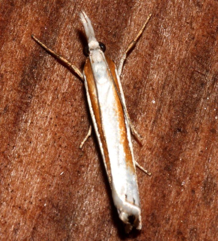 5365, Crambus girardellus, Girards Grass-veneer dorsal