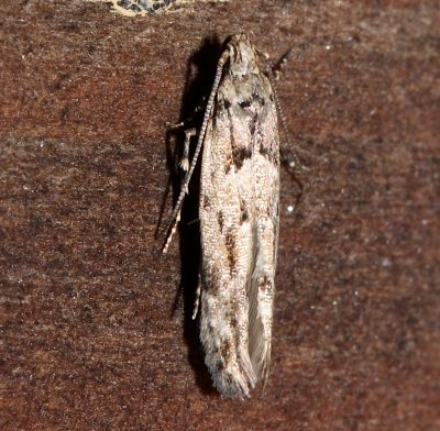 1833.97, Coeotechnite spp. , same moth as next photo.