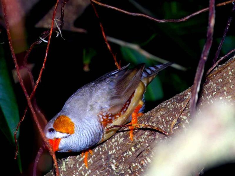 Zeabra Finch