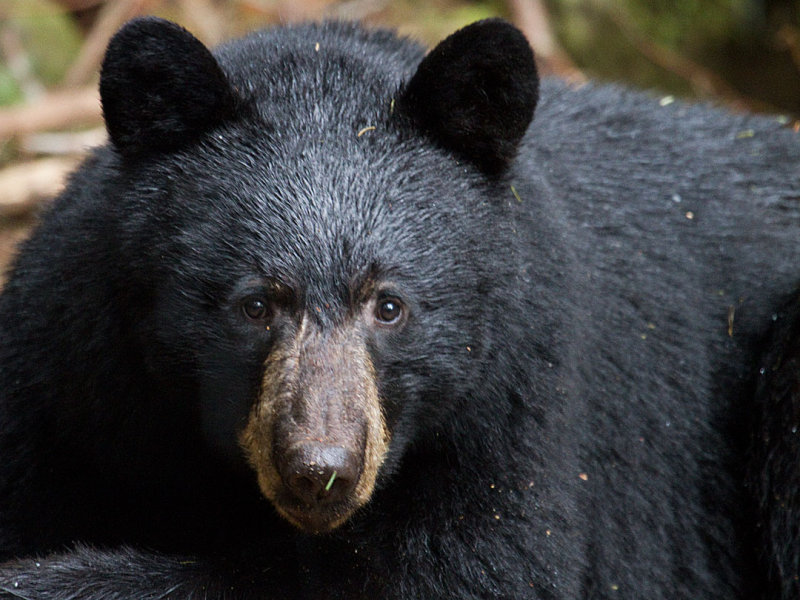 Black Bears are out of the dens