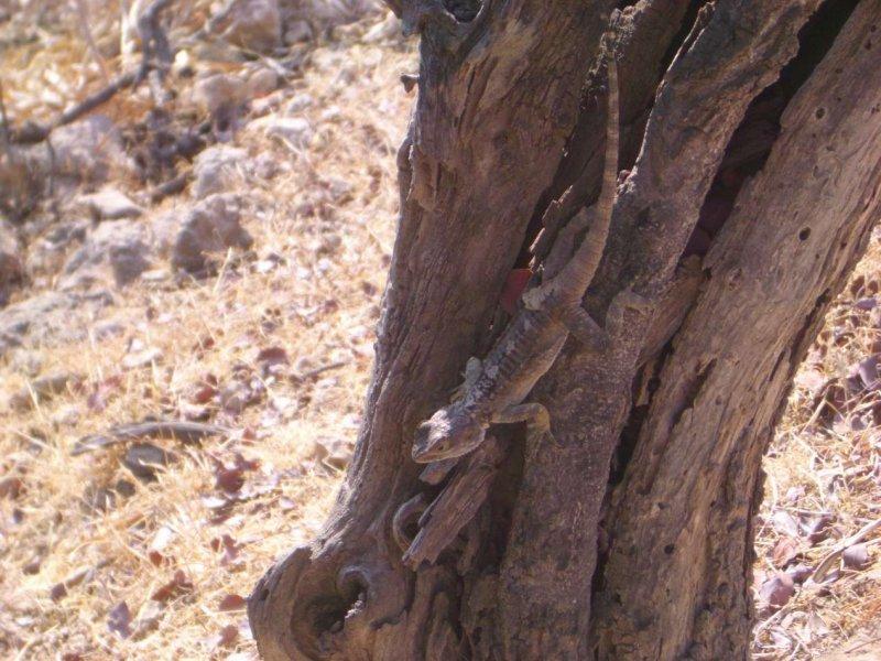 FrillNeckLizzardAroundPolisCyprus2006-07-04 119.JPG