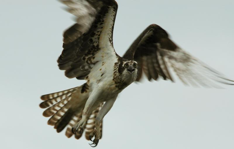 An Osprey Coming In For a Landing