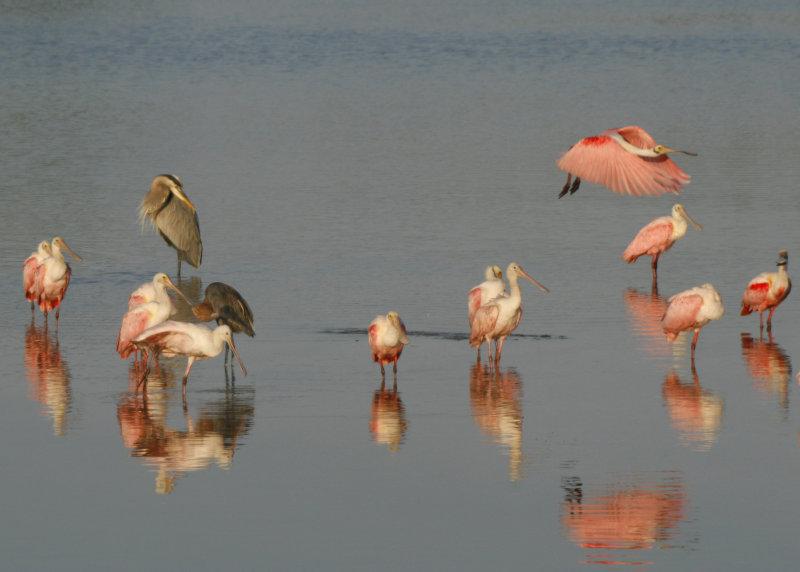 Heron, Egret, and Spoonbills