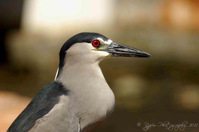 Black crowned Night Heron Oahu HI
