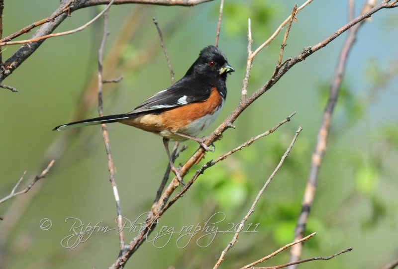 Eastern Towhee Big Meadows NP Va